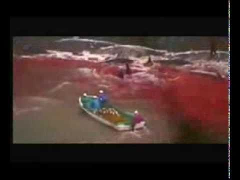 Embedded image permalink User Actions    Following   OpKillingBay @OpKillingBay Thousands of Dolphins every year are still brutally driven in Taiji 4 slaughter/captivity http://youtu.be/uzuSULcqgxQ  #DolphinSmarts