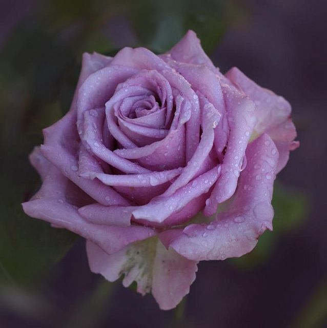 Hybrid Tea Rose: Rosa 'Cool Water' (Netherlands)
