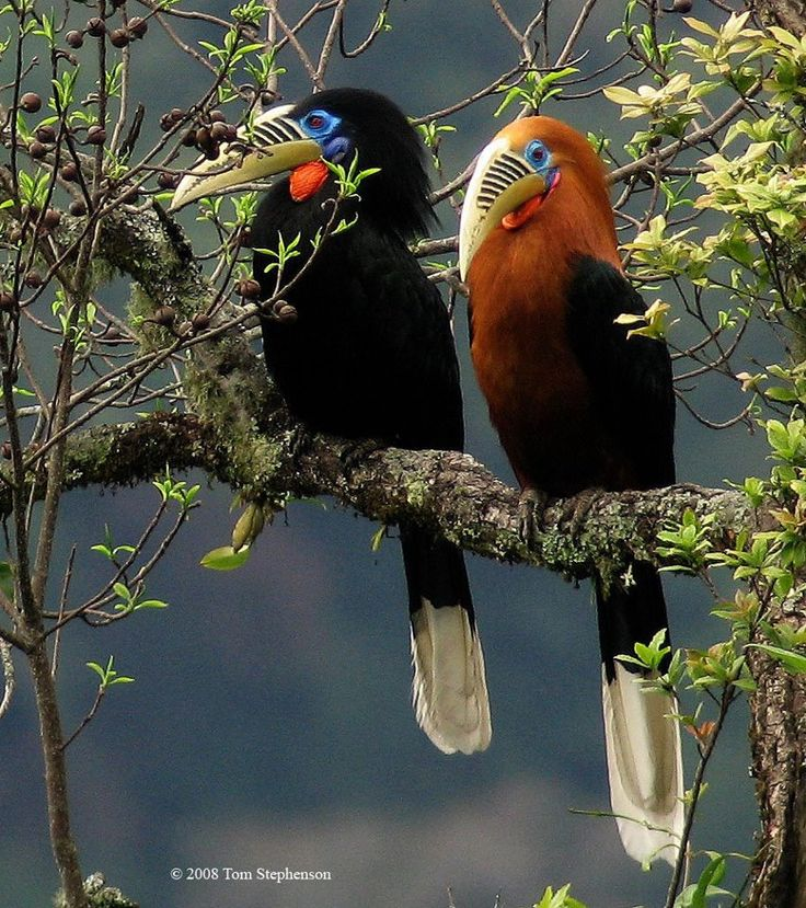 Male/ female Rufous-necked Hornbill. Indian subcontinent, SE Asia