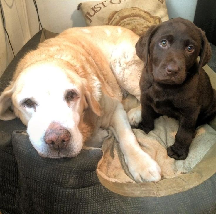190 best dudley labs images on pinterest cats cutest for Dog house for labrador retriever
