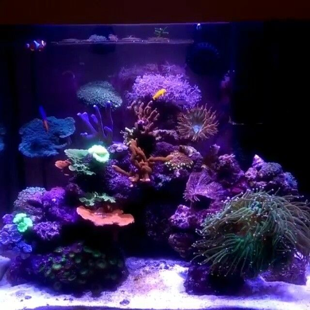 The perfect 120L reef by @reef_n_eats Counted 23+ different coral species, 10 other inverts and 5 fish. #reefaddict #reef2reef #reefcandy #reeftank #softcoral #softcoraladdict #almymoneygoestocorals #acropora #aquarium #amazingcoral #coral #coralfrag #coralporn #reefing #frag #frags #idfragthat #reef #reeflife #reeftank #reef2reef #reeferdise #saltlife #fishtankmaintenance #showtank #fishtanks #eatsleepreef #coraladdict #coralfreaks #coraltank #aquaculture