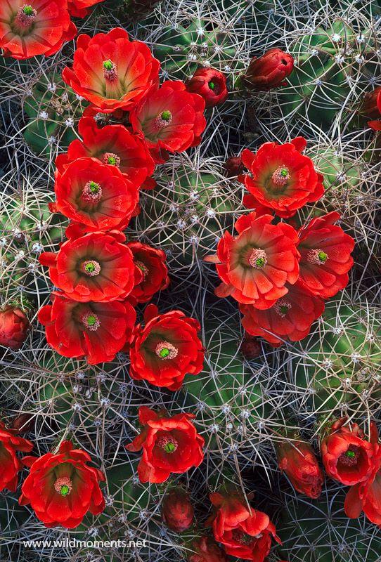 Claret Cup Cactus, Joshua Tree National Park, California; photo by Michael Greene
