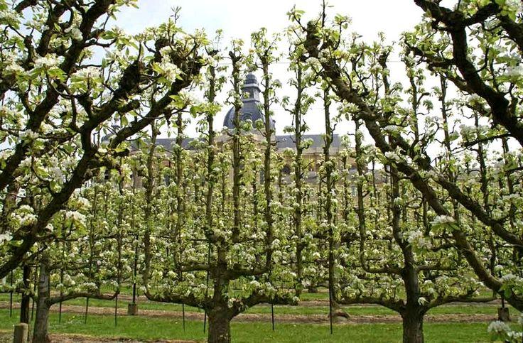 Versailles : le Potager du Roi (fruitiers palissés en fleurs)