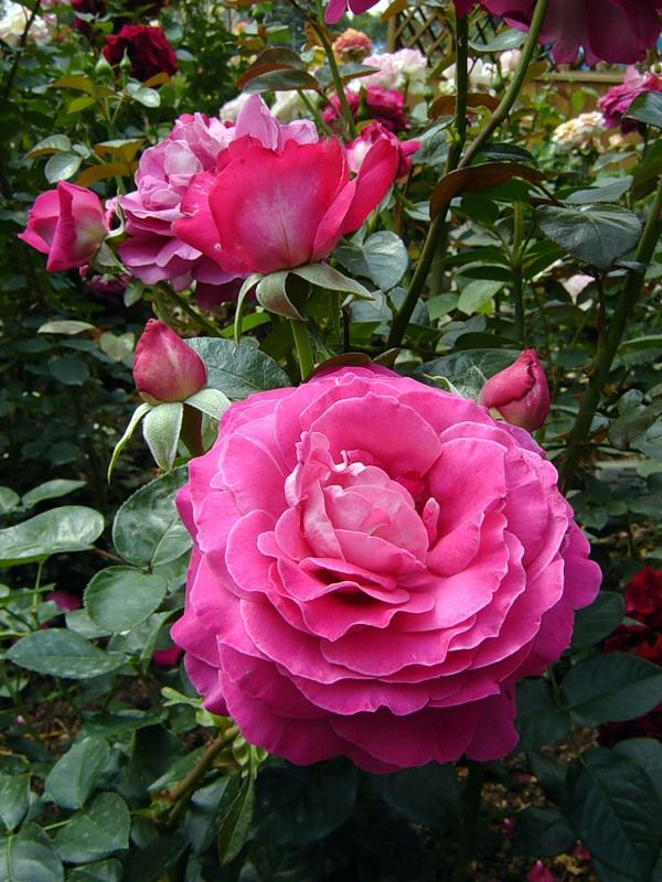 Baronne de rothschild hybrid tea rose meilland 1968 for Rose meilland