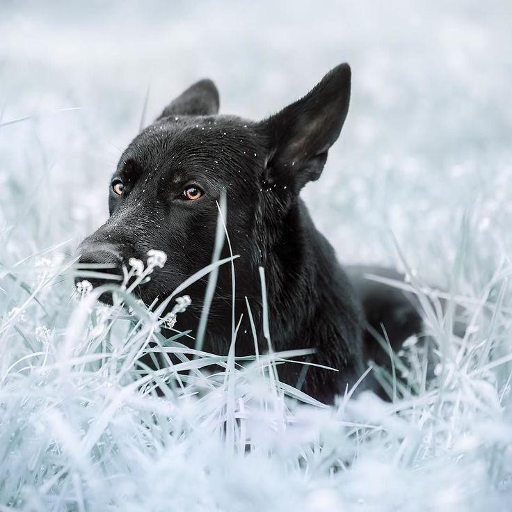 """Black German Shepherd Brick ;)"" writes @digitalbite_.  #dogsofinstagram by: @dogsofinstagram"