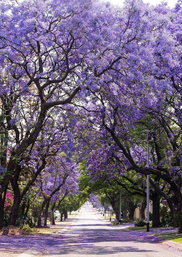 8 best south africa images on pinterest south africa forests and jacaranda street in south africa gumiabroncs Images