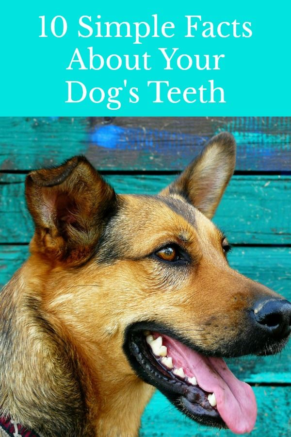 10 Simple Facts About Your Dog S Teeth Dog Teeth Dogs Dog Treadmill