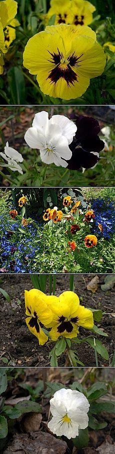Как продлить цветение виол? Виолы, или анютины глазки, растут во многих садах. И если создать им подходящие условия, цвести они будут с ранней весны до снега, без преувеличения — у меня минувшей осенью виолы даже первые октябрьские морозы пережили, с наступлением оттепели продолжали цвести и под снег в ноябре ушли в цветах, чтобы нынешней весной уже в конце апреля вновь порадовать цветами. Как же этого добиться?