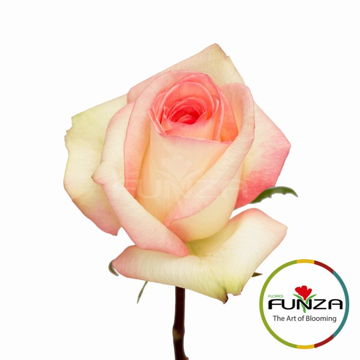 Pink Rose from Flores Funza. Variety: Silvie, Availability: Year-round