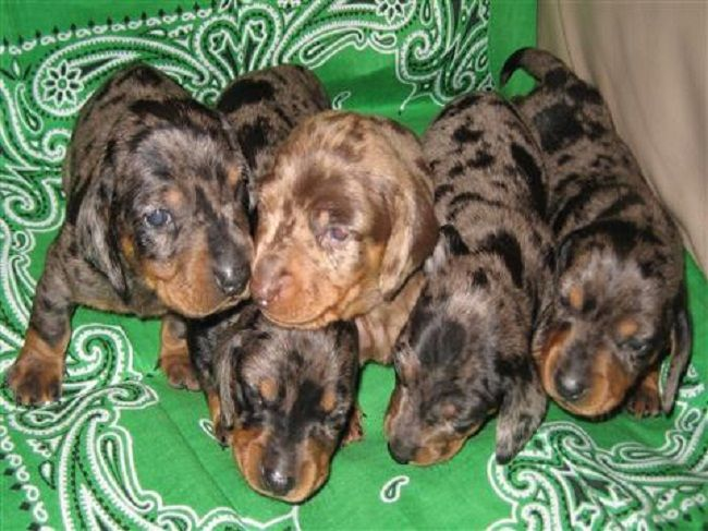 Blood Tracking Dachshund Dogs For Sale Ohio