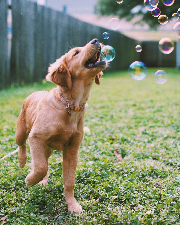 Golden Retriever Puppy Dog Playing With Bubbles In The Backyard