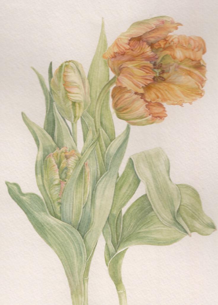 Orange parat tulip, watercolor by Mireille Belajonas, 2012