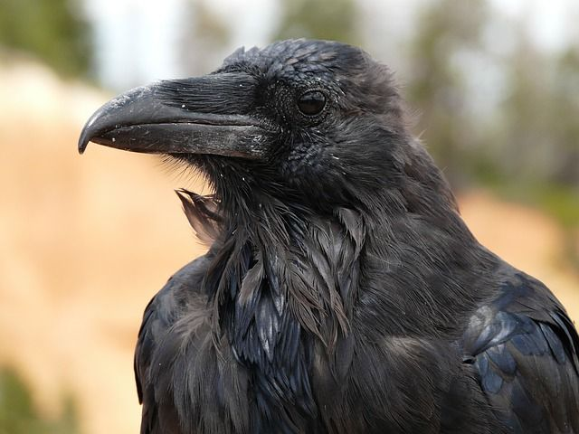 raven bird pictures | Raven, Bird, Birds, Bryce Canyon, Usa