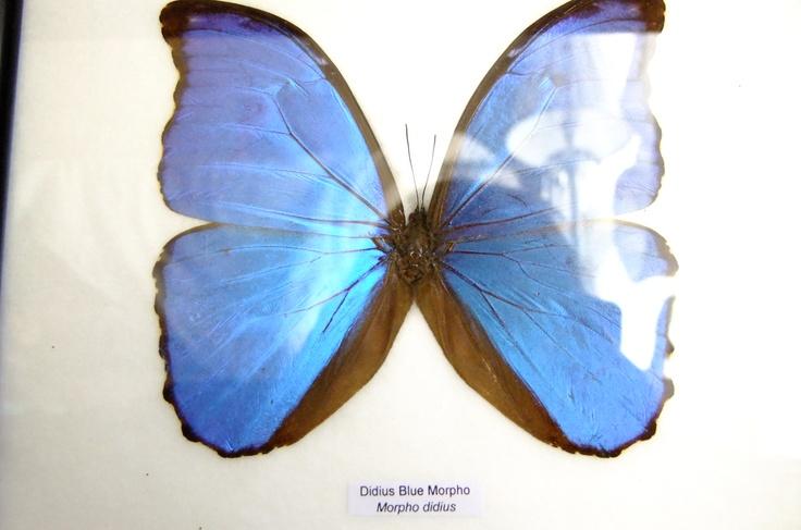 A framed Morpho Butterfly.