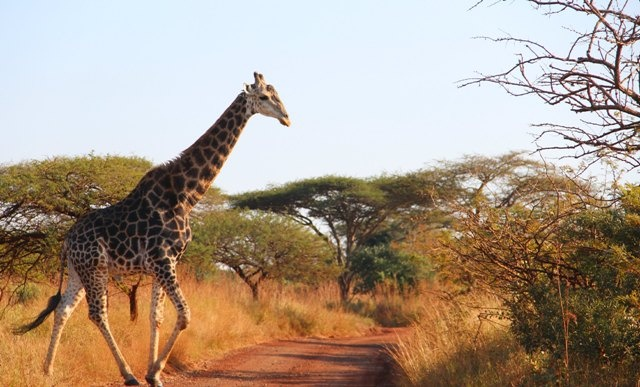 A relaxed Giraffe walking over the road to search for some more tasty trees