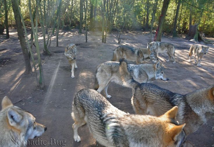 A pack of hungry wolves, Noah's park and wolf sanctuary, Garden Route, South Africa Nomadic Existence