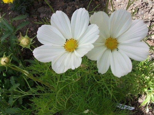 120 Cosmos Sonata White Live Plants Plugs Garden Home Patio Diy Planters 422 Live Plants Diy Planters Plants