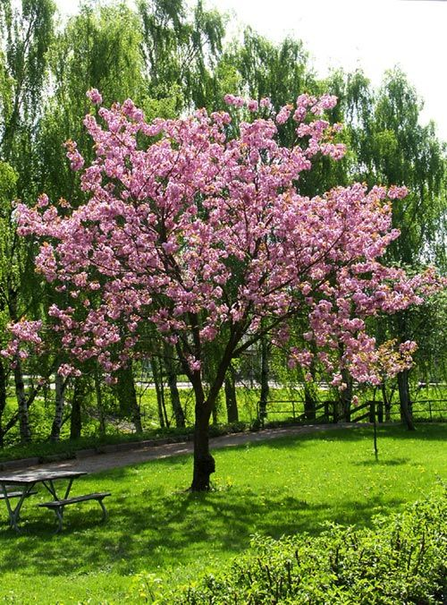 Prunus serrulata 'Ito-kukuri'                                                                                                                                                                                 More