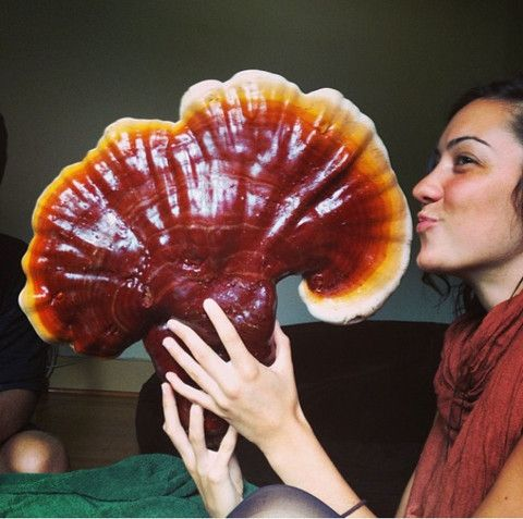 Reishi / Ling Zhi - The Mushroom of Immortality : Chinese Medicine Living