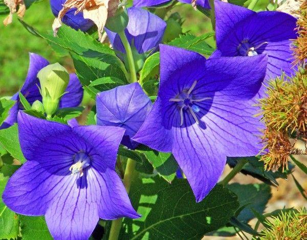 Campanula grandiflora - Platycodon coltivazione caratteristiche Campanula cinese esposizione annaffiature moltiplicazione potatura impianto parassiti malattie cure foto