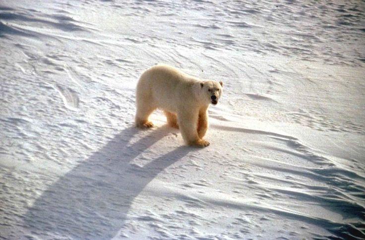 File:White polar bear on snow ursus maritimus.jpg