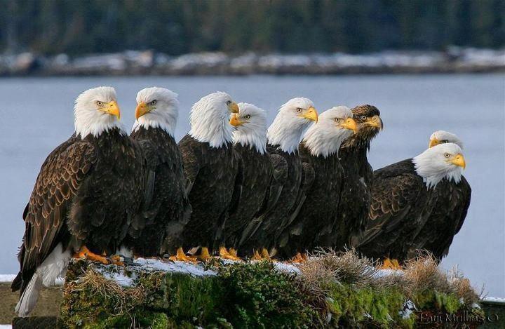 Eagles in Comox BC.