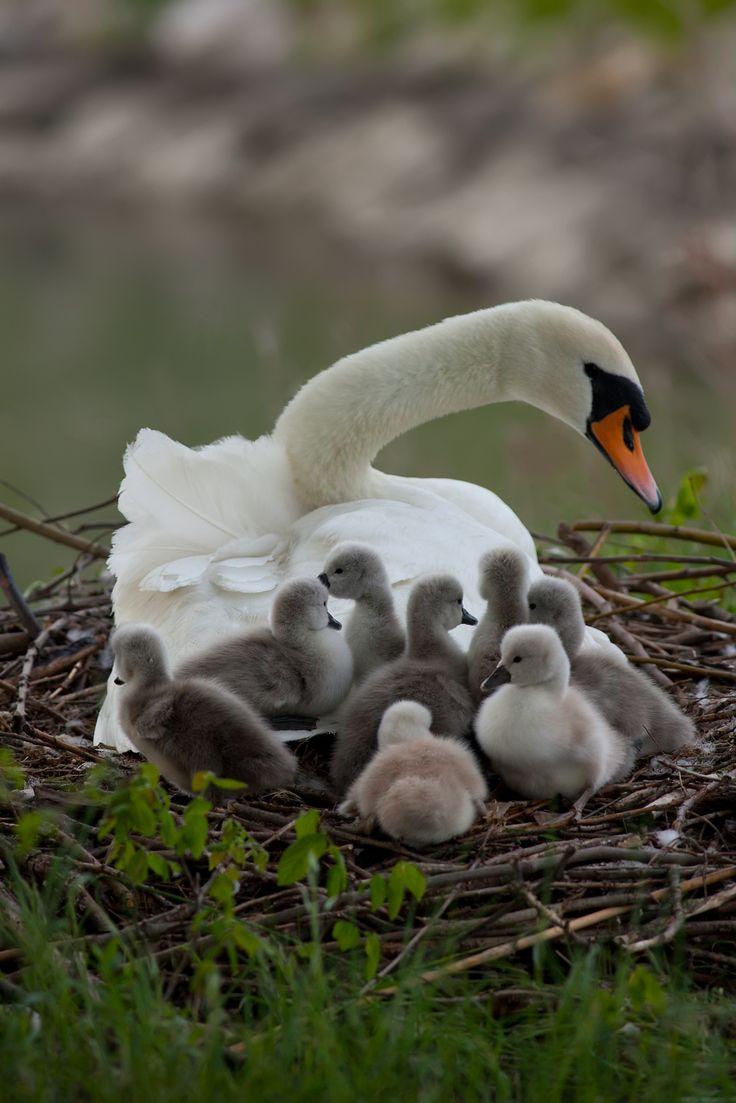 Cisne con sus bebes