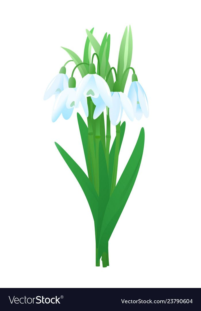 Bouquet Of Snowdrop Flowers Vector Image On Vector Images Bouquet Flowers