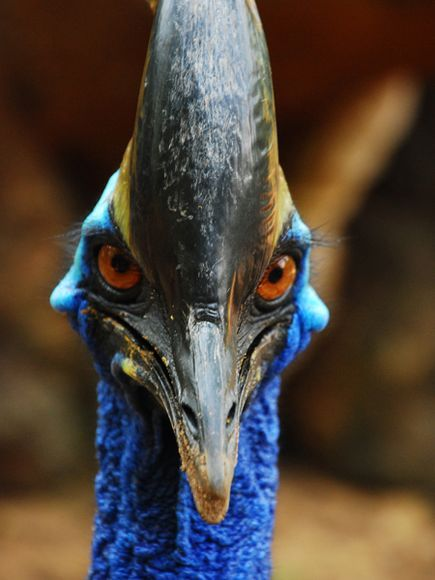 "Cassowary - ""You talking to ME?"" photographs - Google Search--didn't I see this guy in Jurassic Park???"