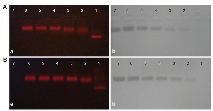 Figure 1 Agarose gel (1%) electrophoresis of (A) quantum dot (QD)–anti-aldose reductase (AR) conjugates and (B) QD–anti-Toll-like receptor 4 (TLR4) conjugates.