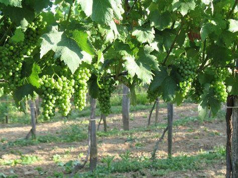 Mivel a szőlő növényvédelmében kiemelt szerepet kap a megelőzés, a növényvédelmi sorozat utolsó bejegyzésében a permetezések ütemezéséről lesz szó.  Először azonban az alapelvek:1. Ne gyilkoljuk meg a szőlőskert ízeltlábúit! A szőlőnk a természet része. A rovarok és…