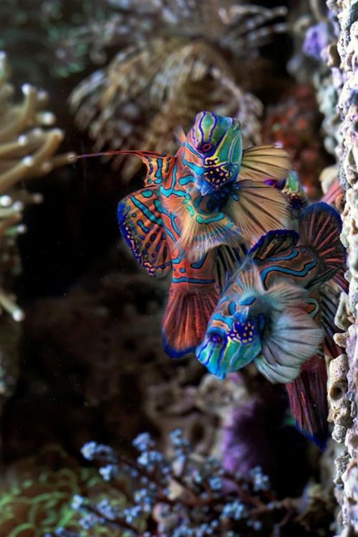 fond main, poissons mandarins en couleurs splendides