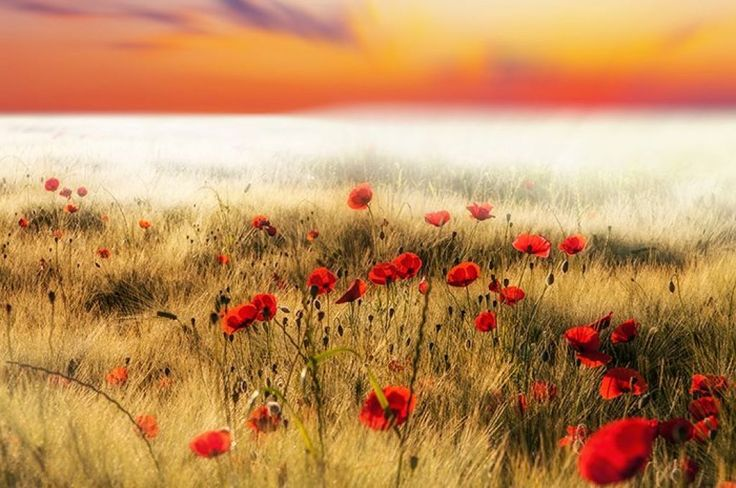 View over beautiful red poppy meadow #landscape #meadow #photo #photograph #nature