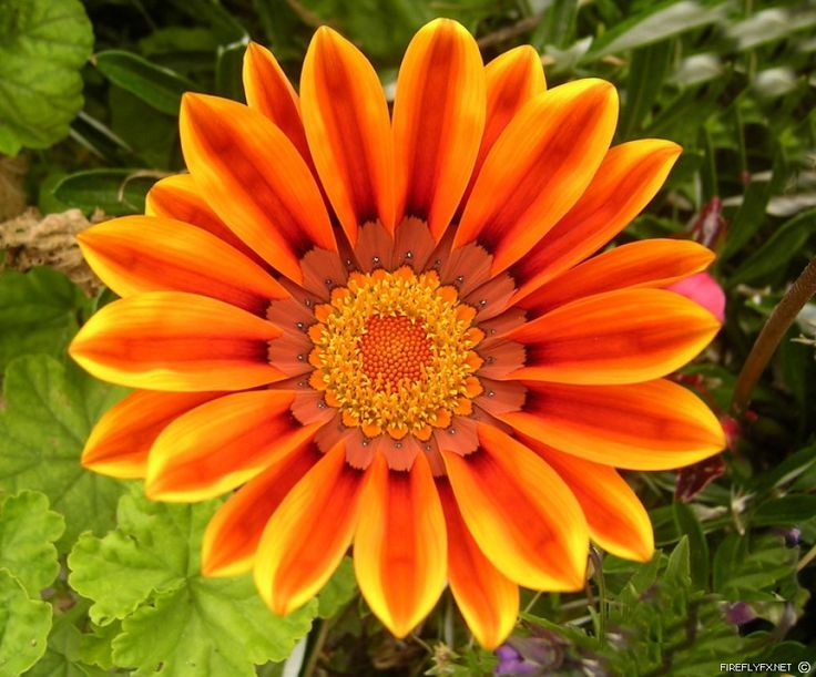What Is The Meaning And History Of Orange Roses
