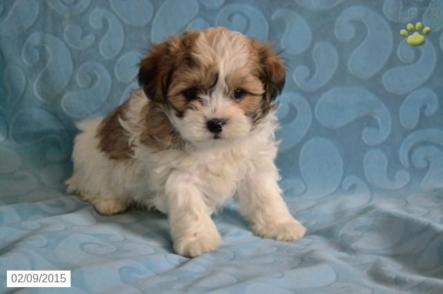 Shichon Puppy for Sale in Ohiohttp://www.buckeyepuppies.com/puppy-for-sale/shichon/logan-2