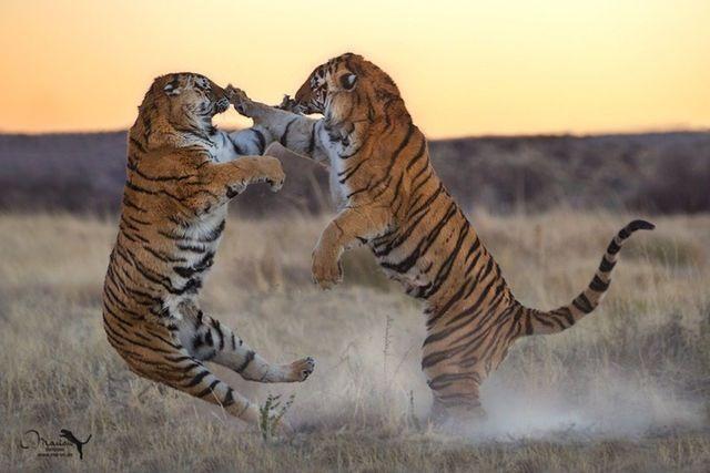 싸우는 호랑이 #tiger #호랑이 #동물 #동물원 #animals #cyberzoo #zoo