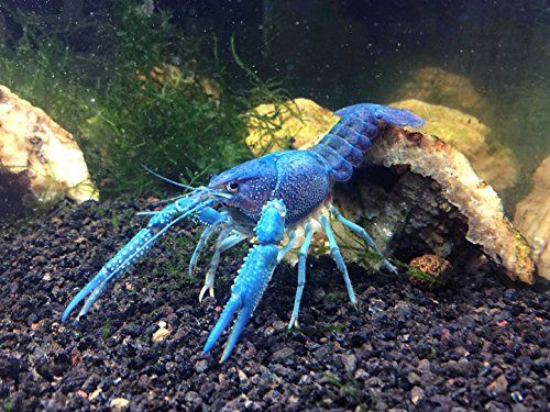 """1 Live Electric Blue Crayfish/Freshwater Lobster (3-4"""" Young Adult!) - Incredibly Beautiful and Striking! by Aquatic Arts (formerly InvertObsession) InvertObsession http://www.amazon.com/dp/B00HBTC4UC/ref=cm_sw_r_pi_dp_EbOlvb09BEQ60"""