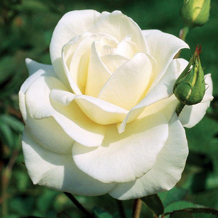 John F Kennedy Hybrid Tea Rose Plants For My Garden
