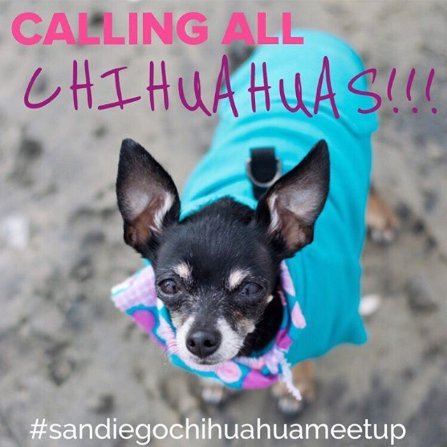 CALLING ALL CHIHUAHUAS!!! JOIN US THIS SATURDAY, JULY 1ST, 2017 at 10:00 AM FOR A #CHIHUAHUAMEETUP at #DoylePark in #LaJolla!  Did you know #chihuahuas tend to prefer to hangout with other #dogs of the same breed? #ayechihuahua  Chihuahuas of all sizes are welcome to come play with other chihuahuas and fellow #chihuahualovers! It's going to be so much fun! Link to the event info is in my bio! See you Sat!  #yoquierotacobell #chihuhuasofinstagram #chis #chihuahua #meetup #sandiegomeetup…
