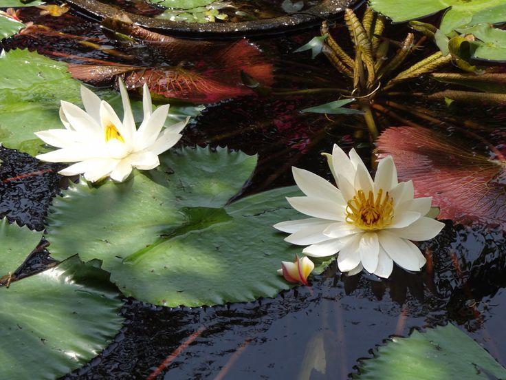 Blooming lotus at La Brasserie pond