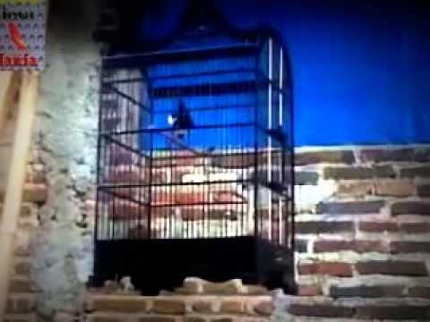 Suara Burung - Kicau Burung Goci Super - Kicau Mania