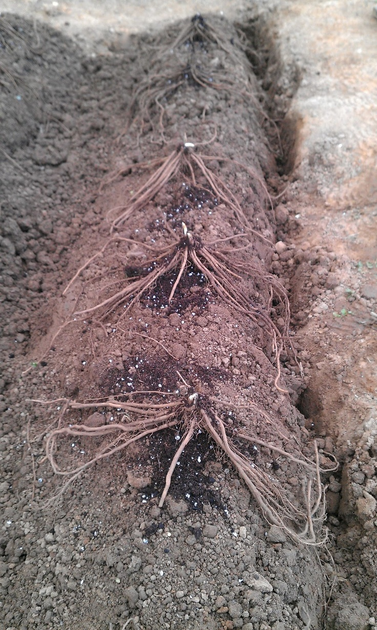 Planting asparagus. Crowns spread out over mounds before covering with enough compost to cover all roots