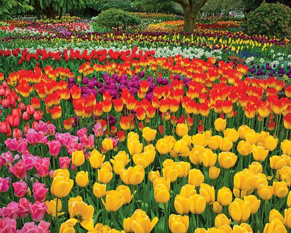 Tulip Garden   PuzzleWarehouse.com