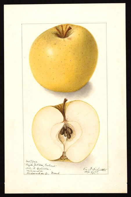 Artist:Schutt, Ellen Isham, 1873-1955 Scientific name:Malus domestica Common name:apples Variety:Grahams Royal Jubilee  17 x 25 cm Year:1907