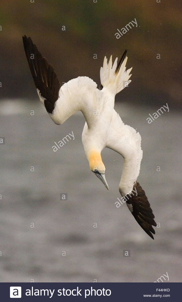 Image result for gannet plunge diving