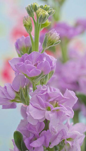 Purple stock gillyflower - prachtige lavendelblauwe en geurende violier - matthiola incana