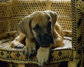 Great Dane-Mastiff Mix Breed Information