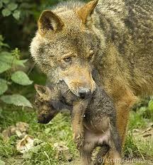 """Non tutti conoscono la bellezza del significato del modo di dire """"in bocca al lupo"""". L'augurio rappresenta l'amore della madre-lupo che prende con la sua bocca i propri figlioletti per portarli da una tana all'altra, per proteggerli dai pericoli esterni. Dire 'in bocca al lupo' e' uno degli auguri più belli che si possa fare ad una persona. E' la speranza che tu possa essere protetto e al sicuro dalle malvagità che ti circondano come la lupa protegge i suoi cuccioli tenendoli in bocca."""