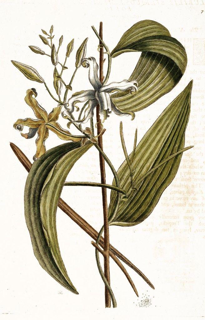 Vanilla Illustration by Mark Catesby circa 1722