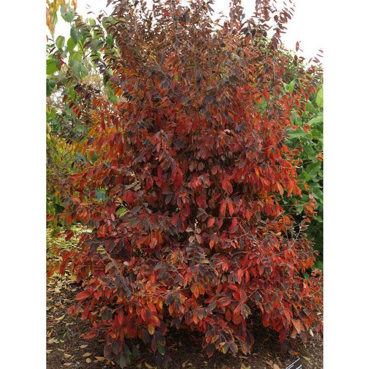 Parrotia subequalis - Chinese ironwood